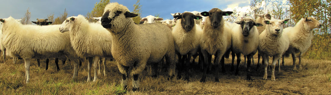 sheepbanner260518.jpg